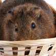 Stock Photo: Guinepig in wattled basket