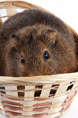 Guinea pig in a wattled basket — Stock Photo