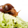 Snail on cabbage leaves — Stock Photo #11111125