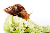Snail on cabbage leaves — Stok fotoğraf
