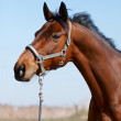 Portrait of a sports horse - Foto Stock