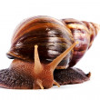 Akhatin's snail — Stock Photo