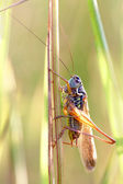 Locust on a grass — Stock Photo