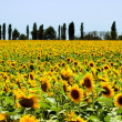 Sunflowers field — Stock Photo