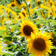 Sunflowers field — Stockfoto