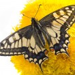 Stock Photo: Butterfly on dandelions