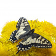 Butterfly on dandelions — Stock Photo