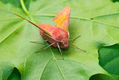 Pink moth — Stock Photo