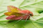 Pink moth — Stock Photo