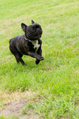 Happy french bulldog running across green grass — Stock Photo