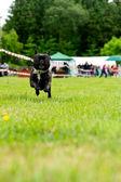 Happy french bulldog — Stock Photo