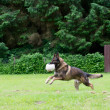 German shepherd dog playing with a ball - Stock Photo