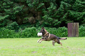 German shepherd dog playing with a ball — Stock Photo