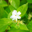 Blossoming branch of jasmine - Foto de Stock  
