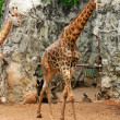 Giraffe - Foto de Stock  