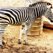 Zebras - Foto de Stock  