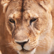 Closeup  portrait of lioness. Outdoors — Stock Photo