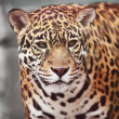 Stock Photo: Jaguar - Pantheronca. Portrait of wild animal