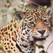 Stock Photo: Jaguar - Panthera; onca. Portrait of wild animal