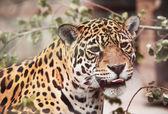 Jaguar - Panthera; onca. Portrait of wild animal — Stock Photo