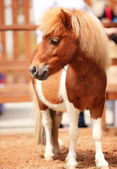 Brow miniature horse. Outdoors — Stock Photo