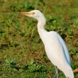 White egret - Stock Photo