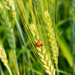 Wheat with ladybird - Foto de Stock