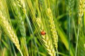 Pšenice s berušky — Stock fotografie