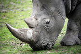 Close up photo of a Rhino — Stock Photo