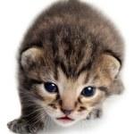 Isolated Kitten — Stock Photo
