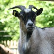 Portrait of a goat — Stock Photo #11999828