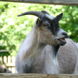 Portrait of a goat — Stock Photo #11999859