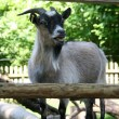 Portrait of a goat - Stock Photo