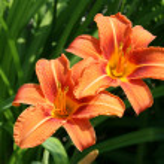 Orange Lily — Stock Photo