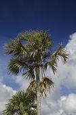 乾燥したヤシの木 — ストック写真