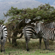 Zebra Herd - Serengeti Safari, Tanzania, Africa — Stock Photo #11346273