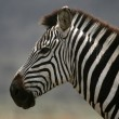 Zebra - Serengeti Safari, Tanzania, Africa — Stock Photo
