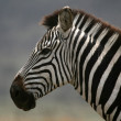 Zebra - Serengeti Safari, Tanzania, Africa — Stock Photo #11346279