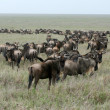 Wildebeest  - Serengeti Safari, Tanzania, Africa - Stock Photo