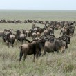 Wildebeest  - Serengeti Safari, Tanzania, Africa — Stock Photo