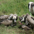 Vultures Eating - Serengeti, Tanzania, Africa — Stock Photo