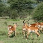 Impala Antelope - Serengeti, Tanzania, Africa — Stock Photo