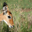 Impala Antelope - Serengeti, Tanzania, Africa — Stock Photo