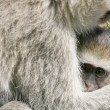 Vervet Monkey - Serengeti Safari, Africa — Stock Photo