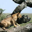 Stock Photo: Lion sitting in Tree - Serengeti, Africa