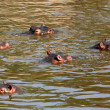 Hippos in Africa — Stock Photo #11346645