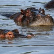 Hippos in Africa - Stock Photo