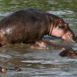 Hippos in Africa — Stock Photo