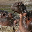 Stock Photo: Hippos Fighting in Africa