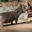 Hippos Fighting in Africa — Stock Photo